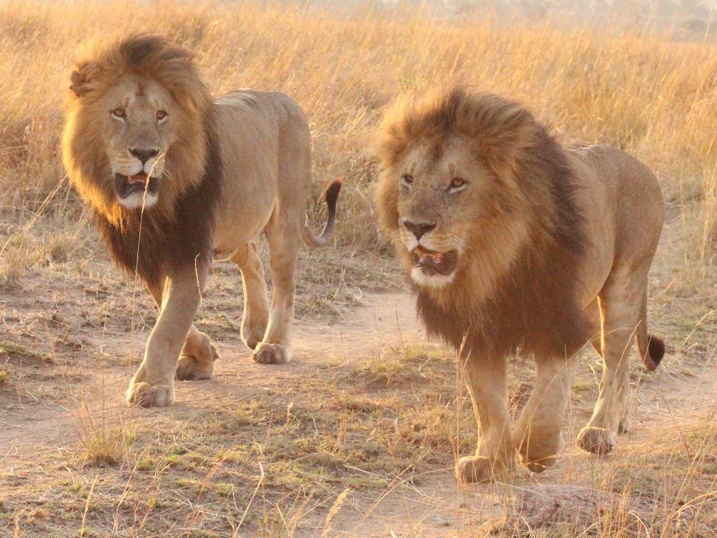 -lions